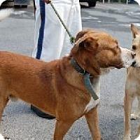 Hound (Unknown Type)/Labrador Retriever Mix Dog for adoption in Media, Pennsylvania - JEREMY
