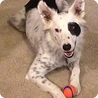 Border Collie Dog for adoption in Columbus, Ohio - Banjo