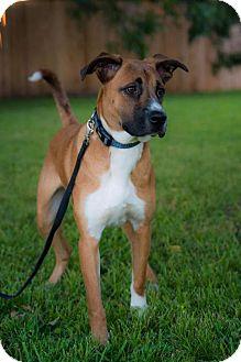 Boxer/Shepherd (Unknown Type) Mix Dog for adoption in Plano, Texas - Goose