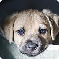 Adopt A Pet :: Cinnamon's baby Kroger - Miami, FL
