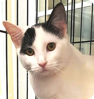 Domestic Shorthair Cat for adoption in Walworth, New York - Flounder