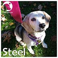 Adopt A Pet :: Steel - Novi, MI
