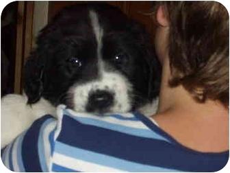 St. Bernard/German Shepherd Dog Mix Puppy for adoption in Parma, Ohio - TORO