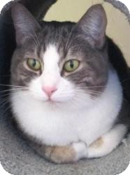 Domestic Shorthair Cat for adoption in Prescott, Arizona - Timmy