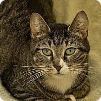 Adopt A Pet :: Tabby - Lancaster, MA