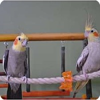 Adopt A Pet :: Cinnamon & Ginger - Redlands, CA