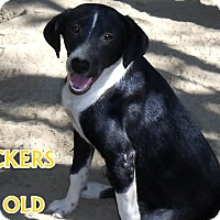 Beagle/American Staffordshire Terrier Mix Dog for adoption in Boaz, Alabama - Checkers