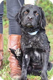 Remington   Adopted Dog   Glastonbury, CT   Flat-Coated ...  Remington   Ado...