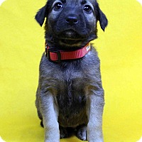 Adopt A Pet :: Hula - Westminster, CO