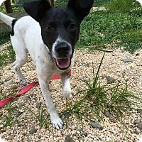 Terrier (Unknown Type, Medium) Mix Puppy for adoption in Breinigsville, Pennsylvania - Archie