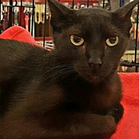 Bombay Cat for adoption in Lyons, Illinois - Noir