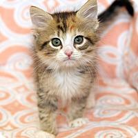 Adopt A Pet :: Libra - St Louis, MO
