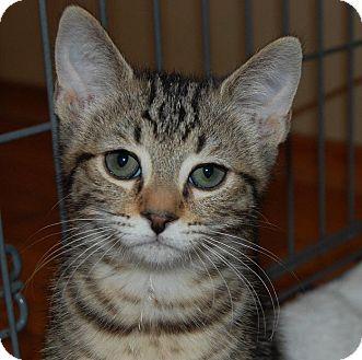 Domestic Shorthair Kitten for adoption in Mountain View, California - Bug
