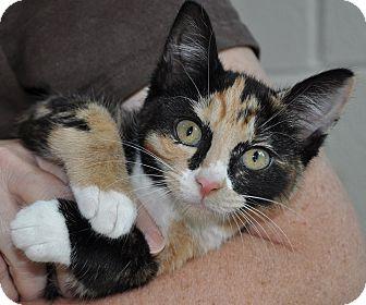 Domestic Shorthair Kitten for adoption in Gaithersburg, Maryland - Raisinette