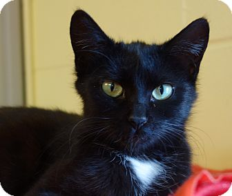 Domestic Shorthair Cat for adoption in Greenfield, Indiana - Gidget