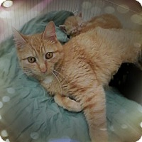 Domestic Shorthair Cat for adoption in Trevose, Pennsylvania - Rosegold