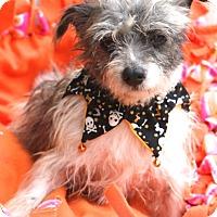 Adopt A Pet :: Ernestine - MEET ME - Woonsocket, RI