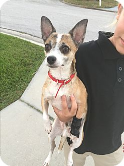 Chihuahua Mix Dog for adoption in Palm Harbor, Florida - Tuffy