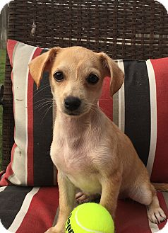 Dachshund/Chihuahua Mix Puppy for adoption in Houston, Texas - Zelda