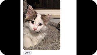 Domestic Longhair Kitten for adoption in Fenton, Missouri - Drew