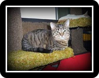 Domestic Shorthair Kitten for adoption in Medford, Wisconsin - PIXIE