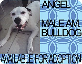 American Bulldog Dog for adoption in Hollywood, Florida - ANGEL