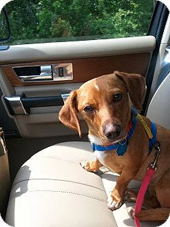 Dachshund Mix Dog for adoption in Richmond, Virginia - Maggie2