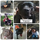 Adopt A Pet :: Capone *Courtesy Post*