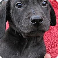Adopt A Pet :: Robin - South Jersey, NJ