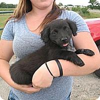 Adopt A Pet :: Baby Cheeks - Salem, NH