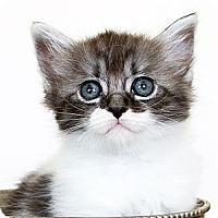Adopt A Pet :: Gus - Irvine, CA