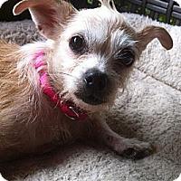 Adopt A Pet :: Ragmuffin - Plainfield, CT