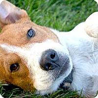 Adopt A Pet :: *Trooper - PENDING - Westport, CT