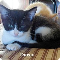 Adopt A Pet :: Darcy - Bentonville, AR