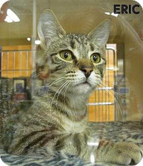 Domestic Shorthair Cat for adoption in Covington, Kentucky - Eric