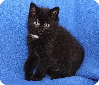 Domestic Shorthair Kitten for adoption in Marietta, Ohio - Janet