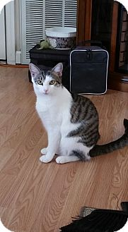 Domestic Shorthair Cat for adoption in Marietta, Georgia - Avon
