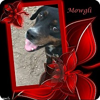 Adopt A Pet :: Mowgli - Crowley, LA
