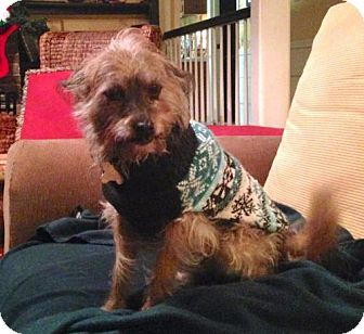 Cairn Terrier/Terrier (Unknown Type, Medium) Mix Dog for adoption in Alpharetta, Georgia - Bartt