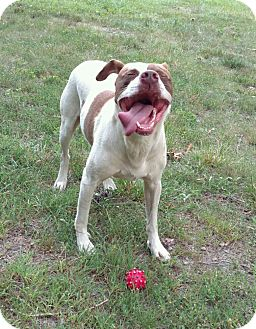 Pit Bull Terrier/Pointer Mix Dog for adoption in Battleboro, Vermont - Bagel-TRAINED POLICE DOG