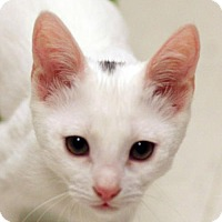 Domestic Shorthair Kitten for adoption in San Diego, California - Leo