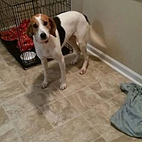 Hound (Unknown Type)/Foxhound Mix Dog for adoption in Shaw AFB, South Carolina - Myrtle