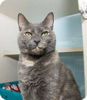 Domestic Shorthair Cat for adoption in New York, New York - Sofia