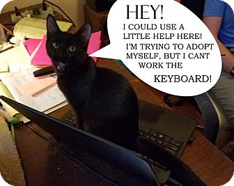Domestic Shorthair Kitten for adoption in Walnut Creek, California - Homer