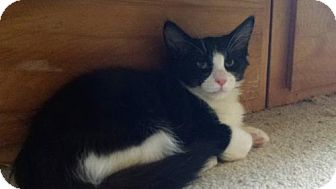 Domestic Shorthair Kitten for adoption in Walnut Creek, California - Bold