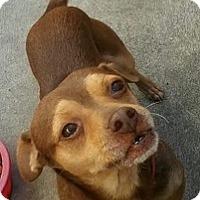Adopt A Pet :: Brownie - Oceanside, CA