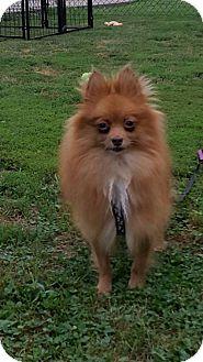 Pomeranian Dog for adoption in Harrisburg, Pennsylvania - Reba