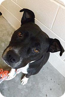 American Pit Bull Terrier Mix Dog for adoption in Barco, North Carolina - Tasha