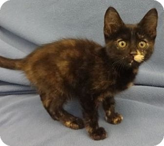Domestic Shorthair Kitten for adoption in Olive Branch, Mississippi - Bonita