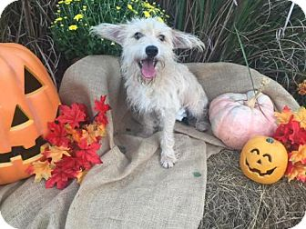 Cairn Terrier/Yorkie, Yorkshire Terrier Mix Dog for adoption in Lindale, Texas - Rue